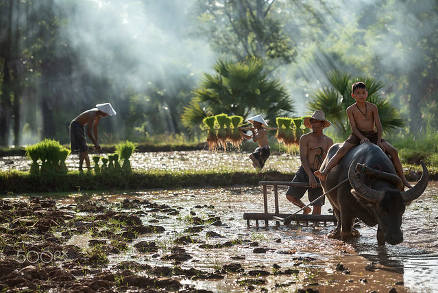 Vietnamese father and son farmers use rice fields to plow buffalo Asian people use buffalo...
