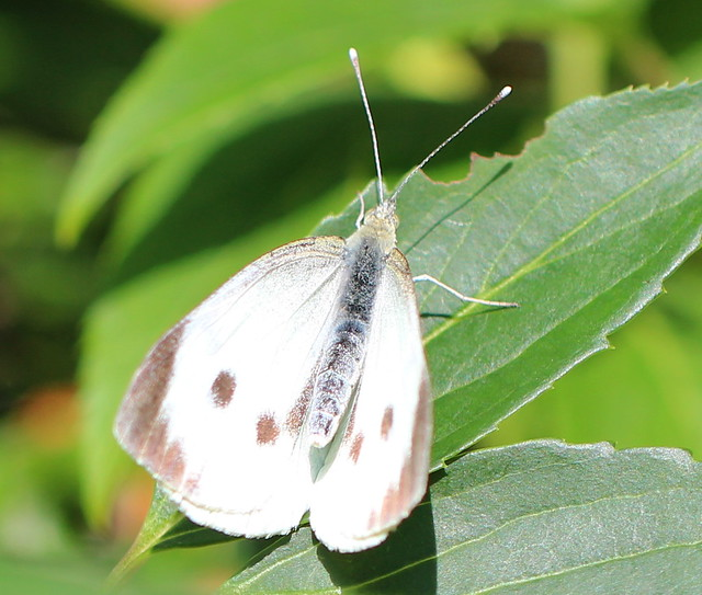Large White Butterfly(F)