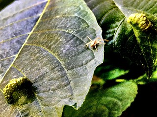#Tiny #spider and deformated leaves