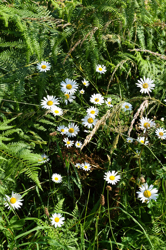 Daisies in Brittany, France