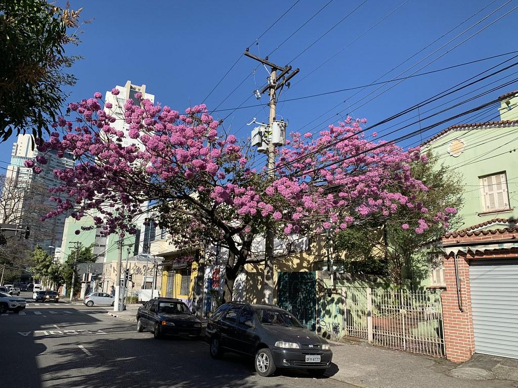 """I'll Survive"", says the Ipê-Rosa, São Paulo (winter - 29ºC), Brazil."