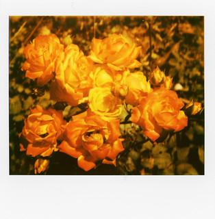 Rose from Sebastopol