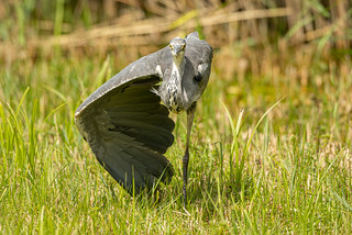 Heron standing on one leg and spreading one wing. Good party trick...