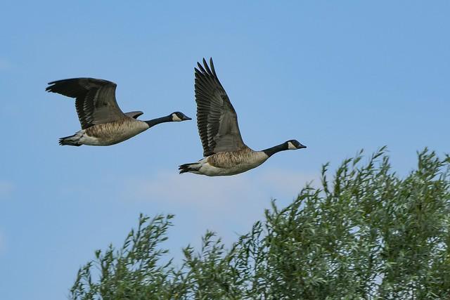 Canada geese. Abberton reservoir.