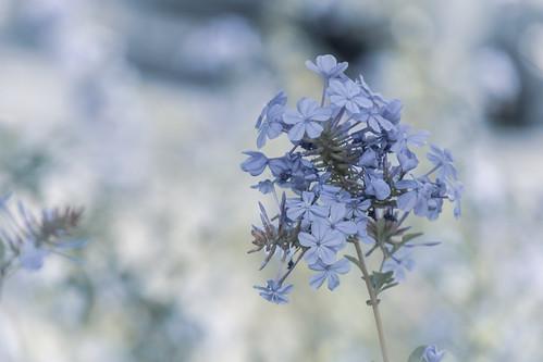 europe france hérault lagrandemotte languedocroussillon occitanie fleur fleurs flower flowers nature nikon nikond5500 nikonpassion nikonphotography blue bleu mauve