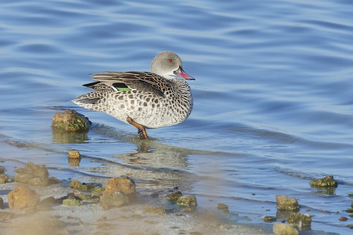 Cape Teal (Anas capensis), Strandfontein, Western Cape, South Africa