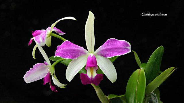 Cattleya violacea flamea x semi alba