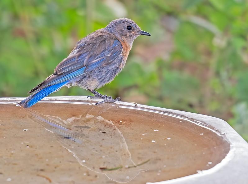 Western-Bluebird-9-7D2-072119