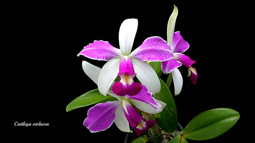 Cattleya violacea flamea x semi alba | by emmily1955