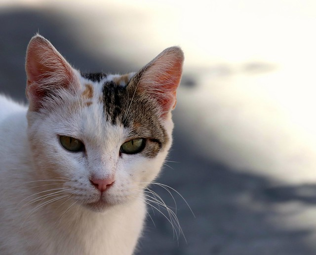 cat XII