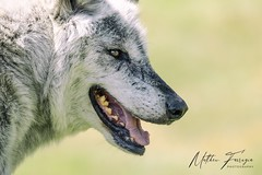 Canadian Timber Wolf (aka Northwestern Wolf, Northern Timber Wolf & Mackenzie Valley Wolf) (Canis lupus occidentalis)