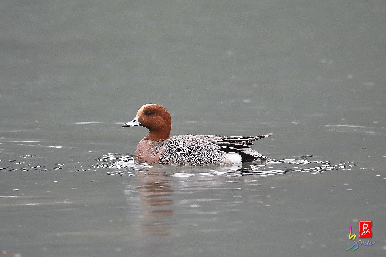 Duck_0206