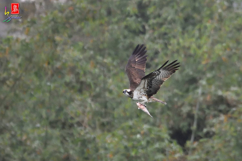 Osprey_0598