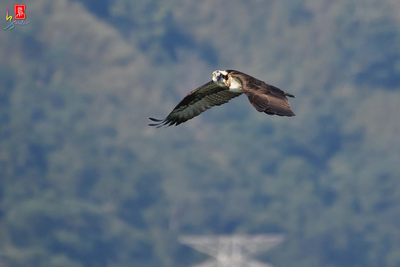Osprey_1563