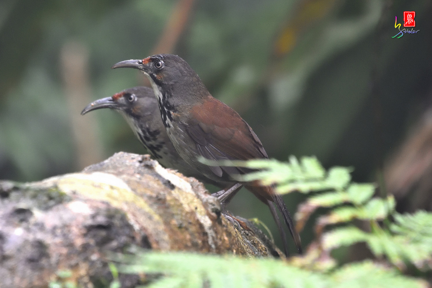 Rusty-cheeked_Scimitar-babbler_4417