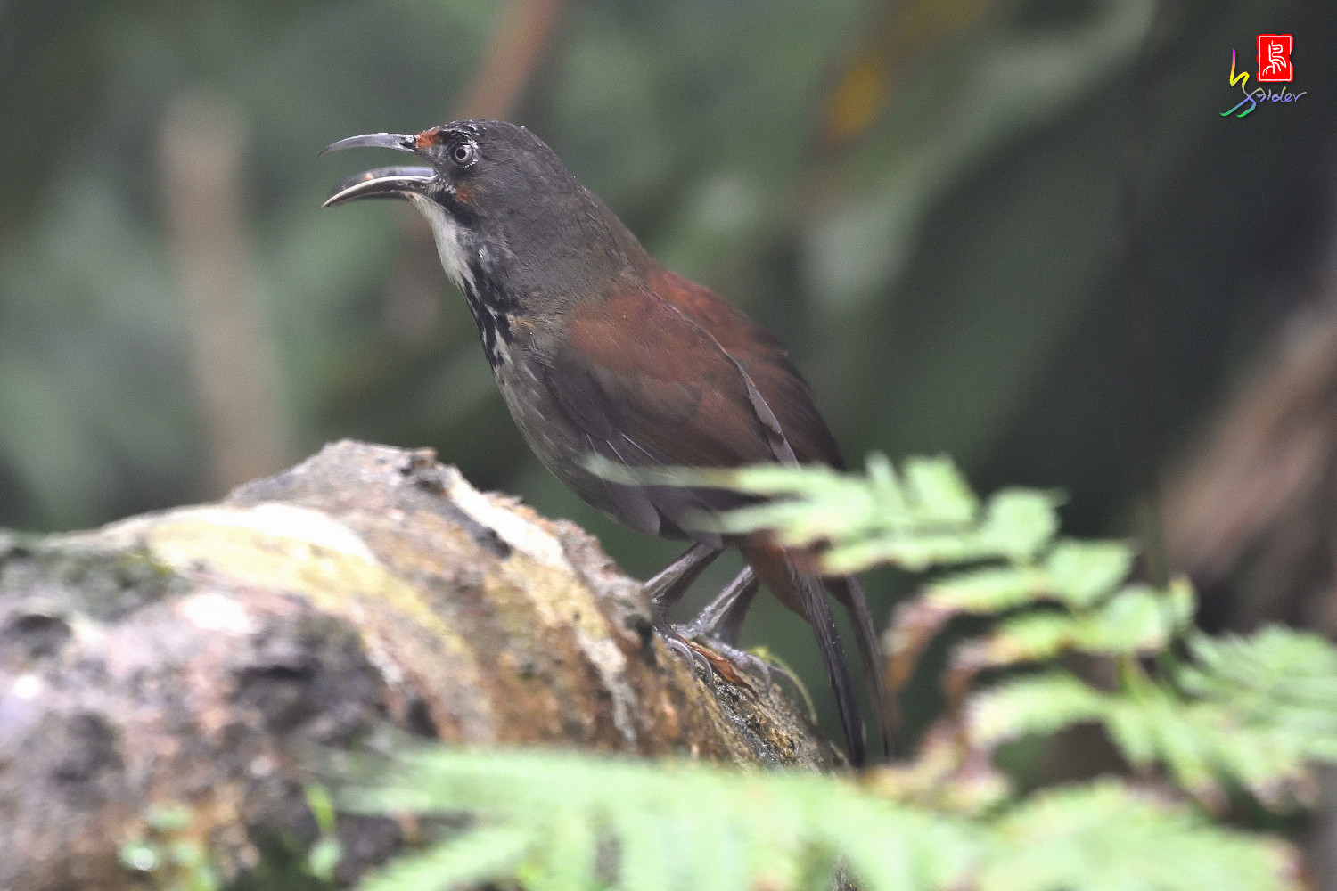 Rusty-cheeked_Scimitar-babbler_4416