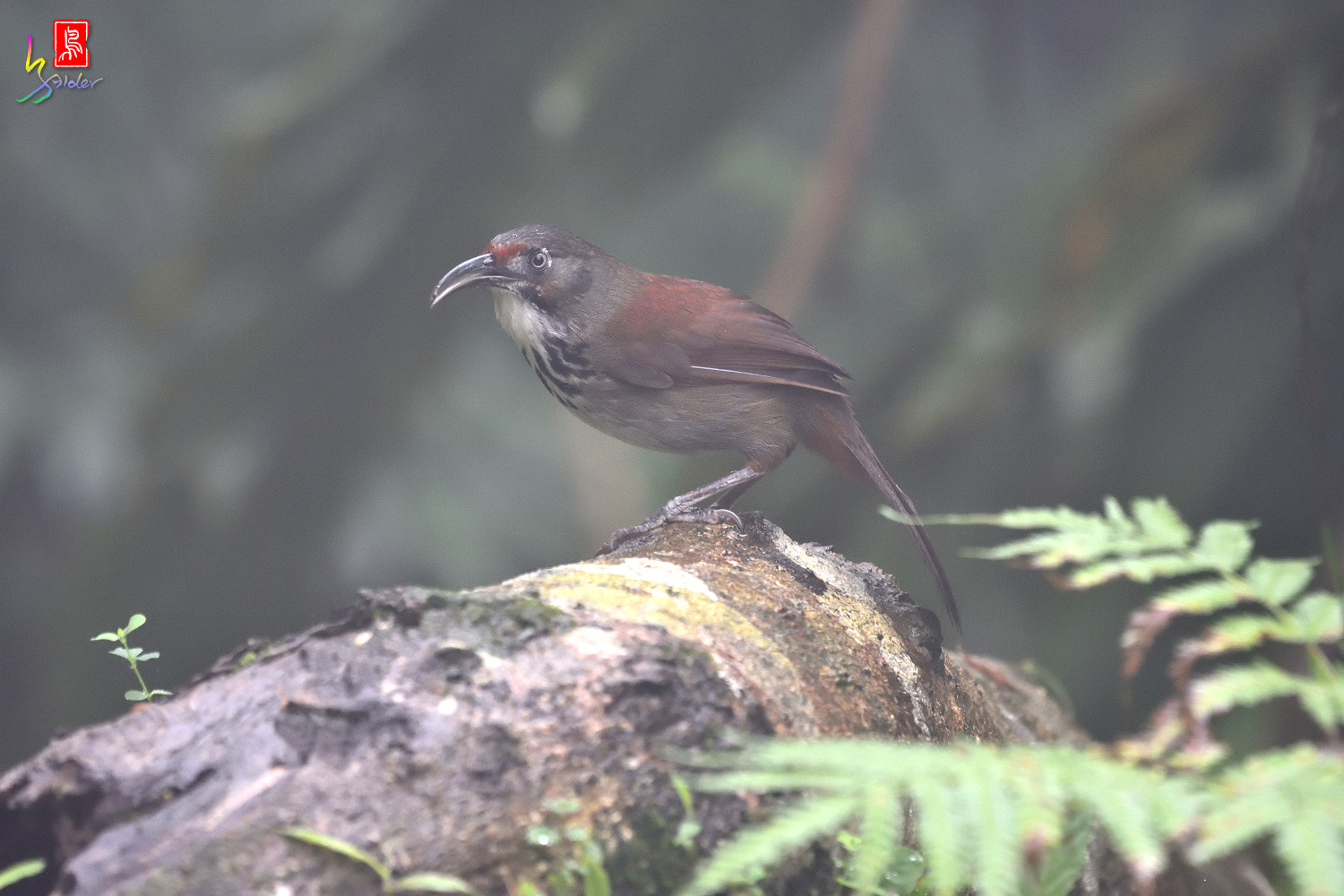 Rusty-cheeked_Scimitar-babbler_4365