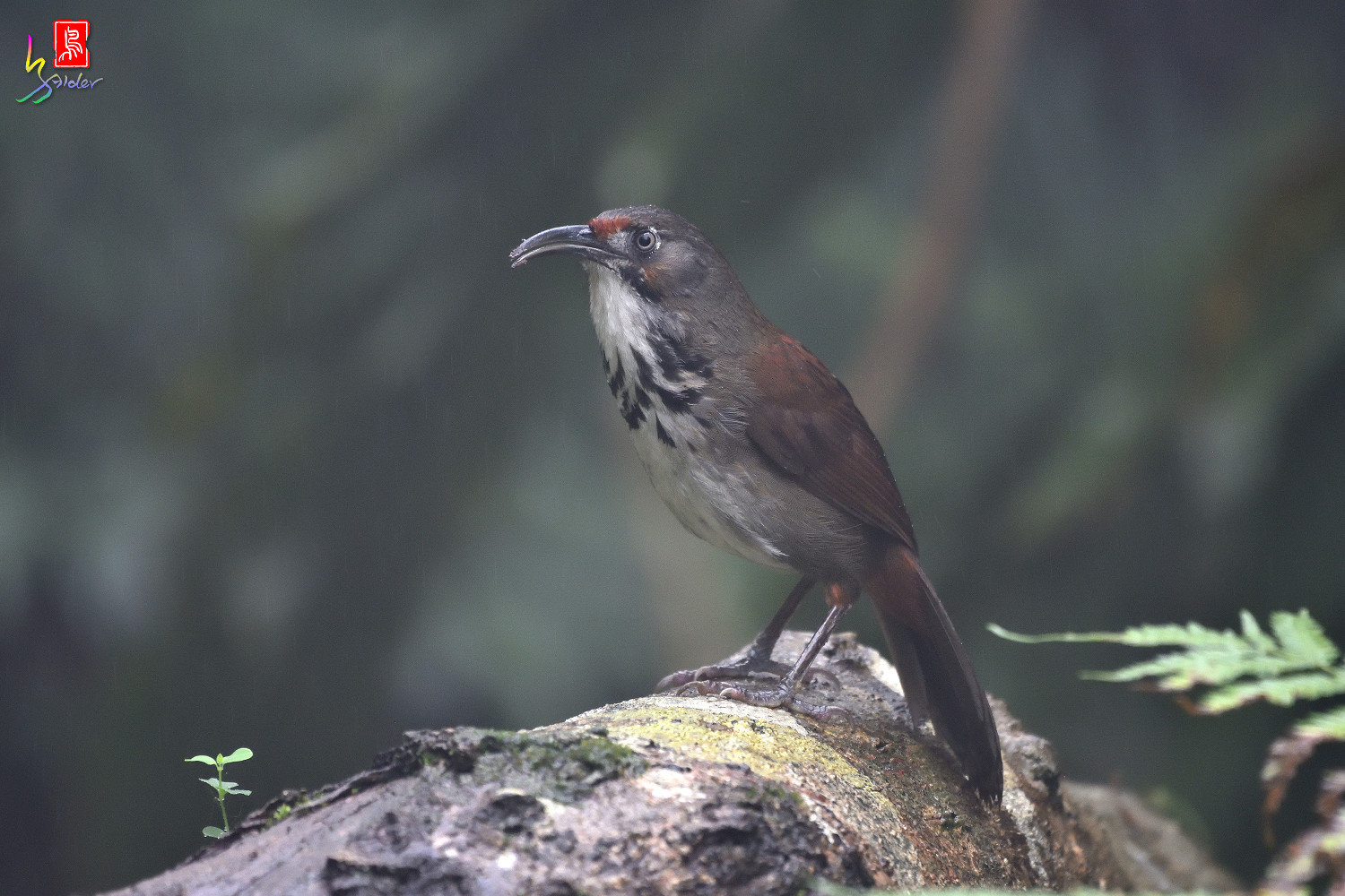 Rusty-cheeked_Scimitar-babbler_4360