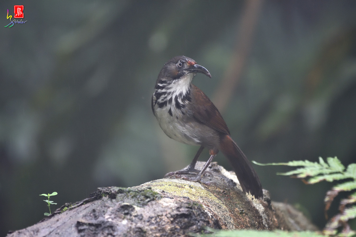 Rusty-cheeked_Scimitar-babbler_4358