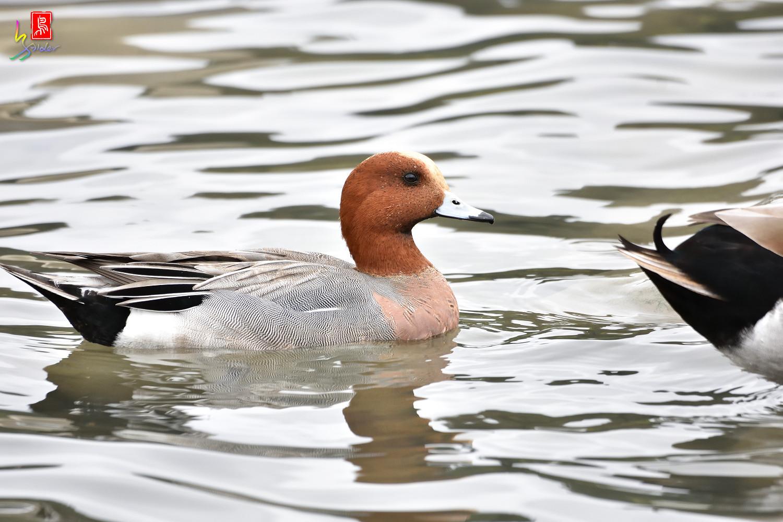 Duck_3307