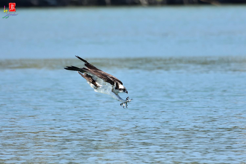 Osprey_3077