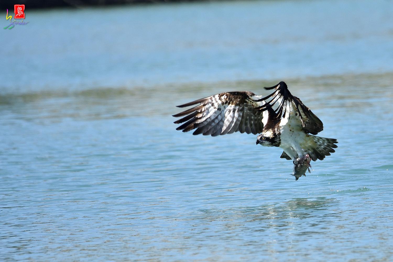 Osprey_3055