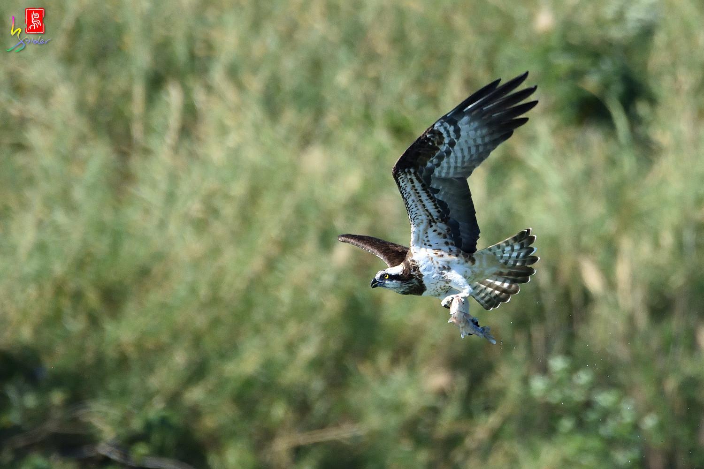 Osprey_3029