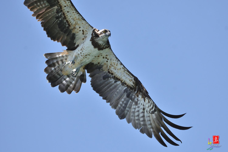 Osprey_2141