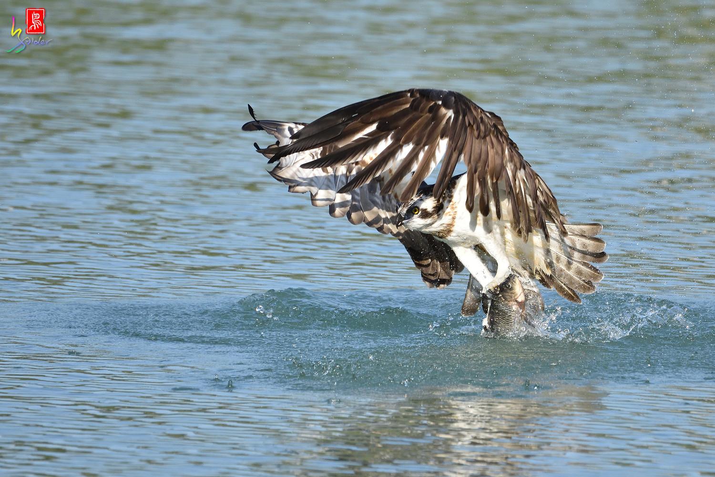 Osprey_1714
