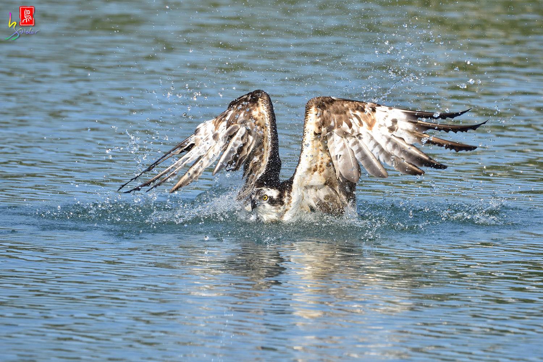 Osprey_1712