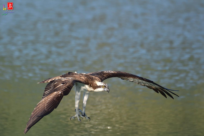 Osprey_1628