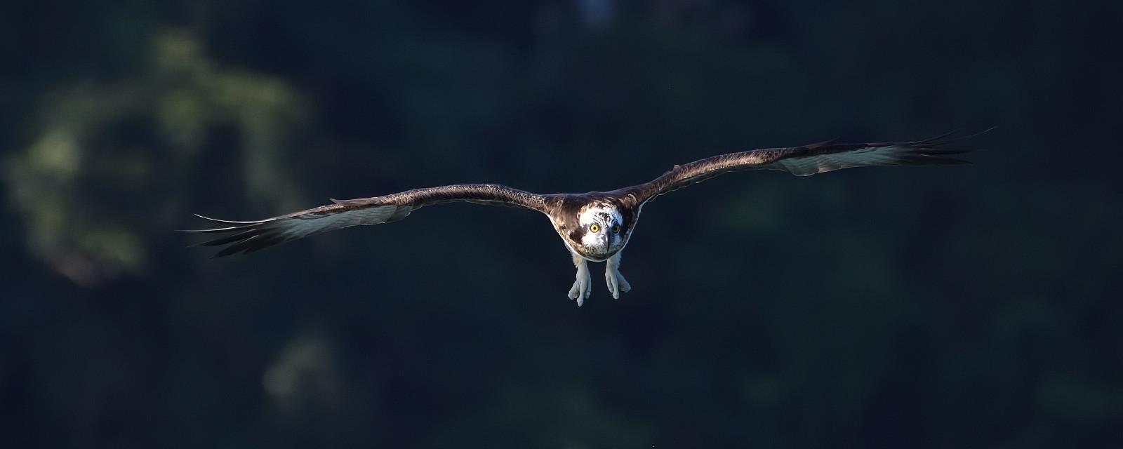 Osprey_1583_L