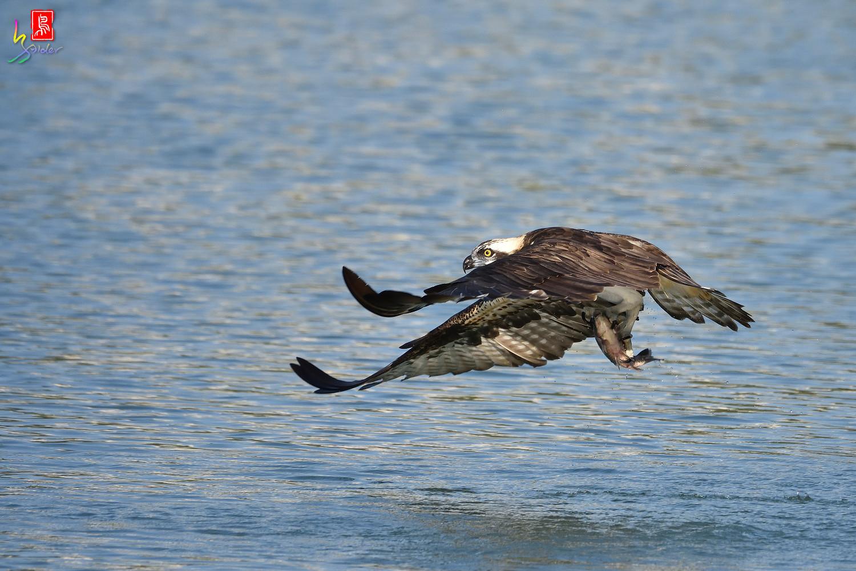 Osprey_1545