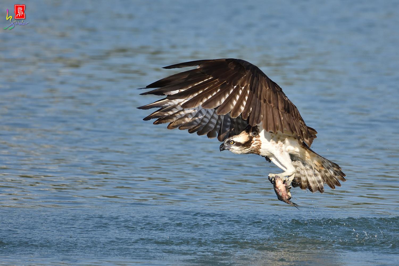Osprey_1543