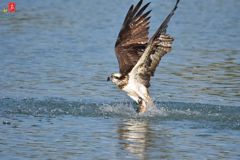Osprey_1541