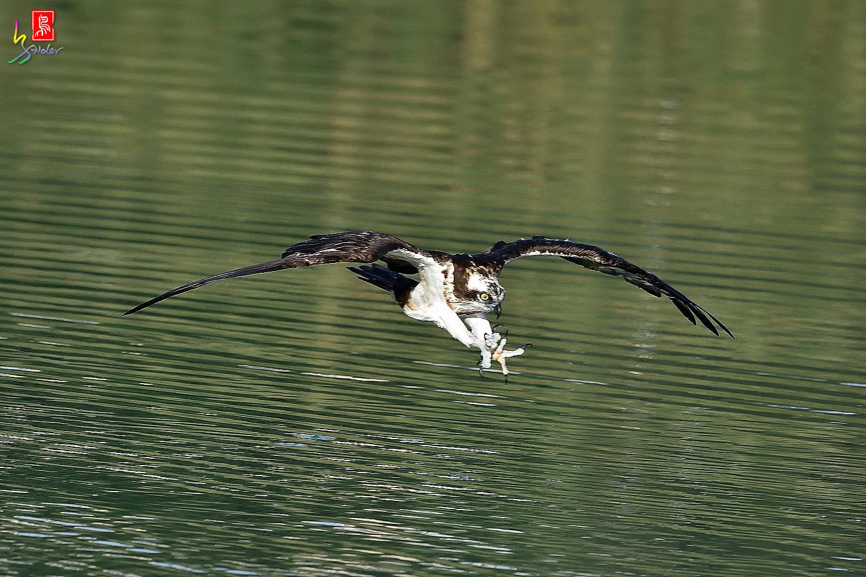 Osprey_1437