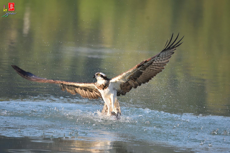 Osprey_1170