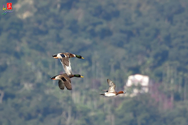 Duck_1348