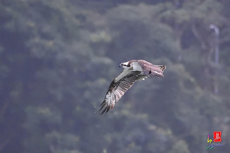 Osprey_0437