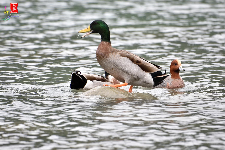 Duck_0774