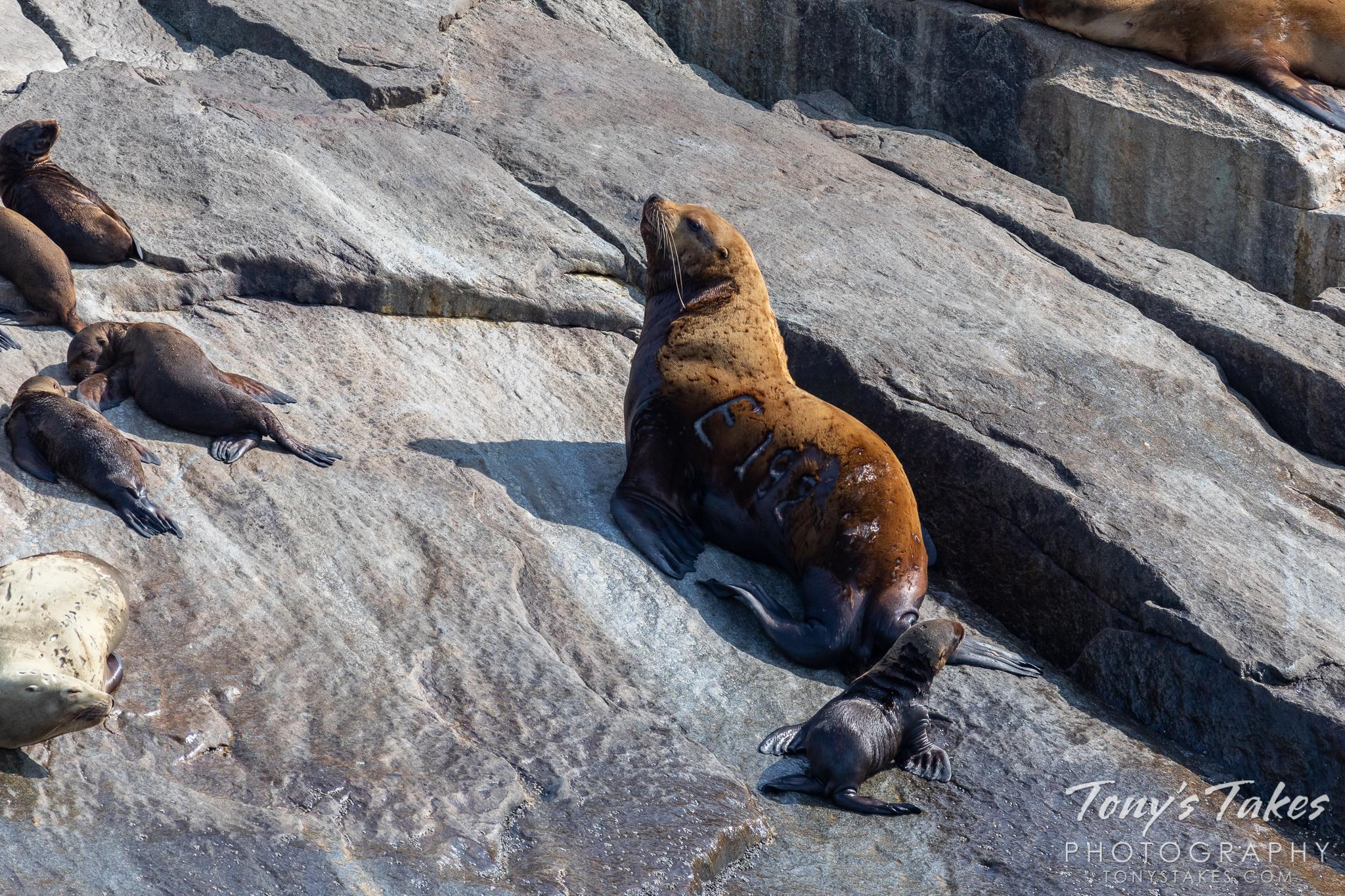 Big bull sea lion standing guard