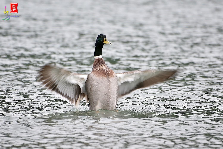 Duck_0675