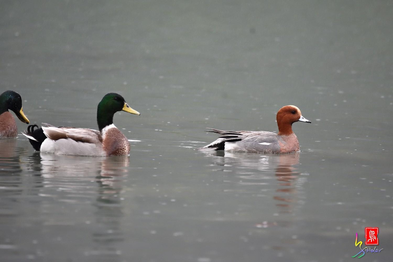 Duck_0194