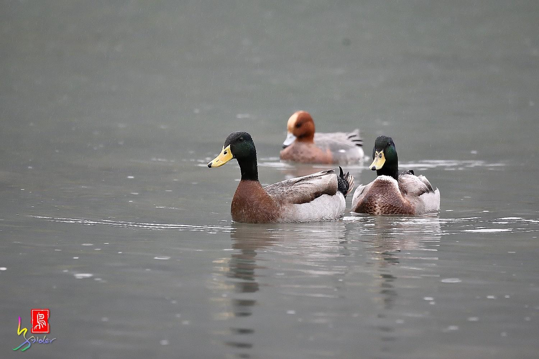 Duck_0173
