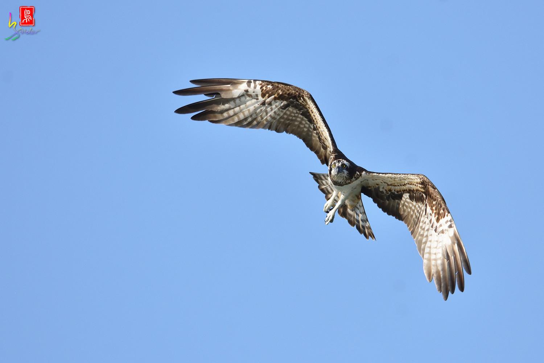 Osprey_1499
