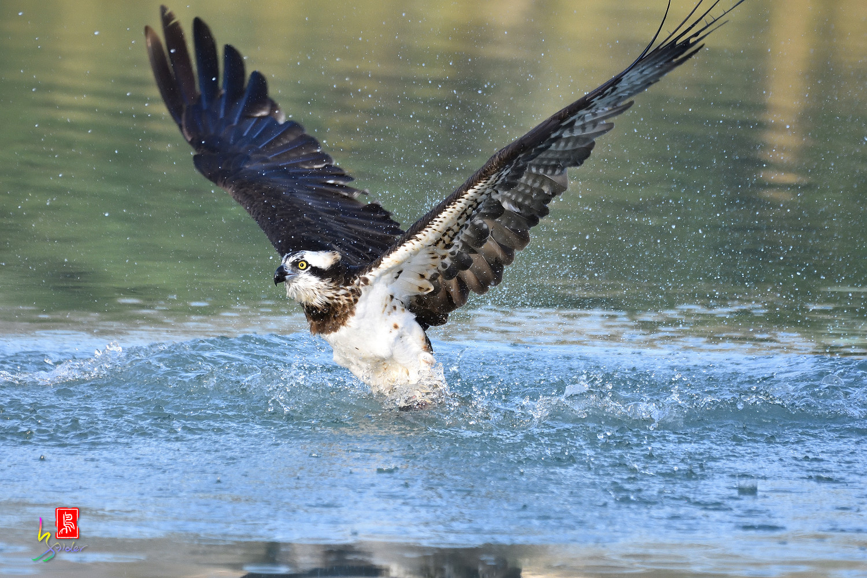 Osprey_3958