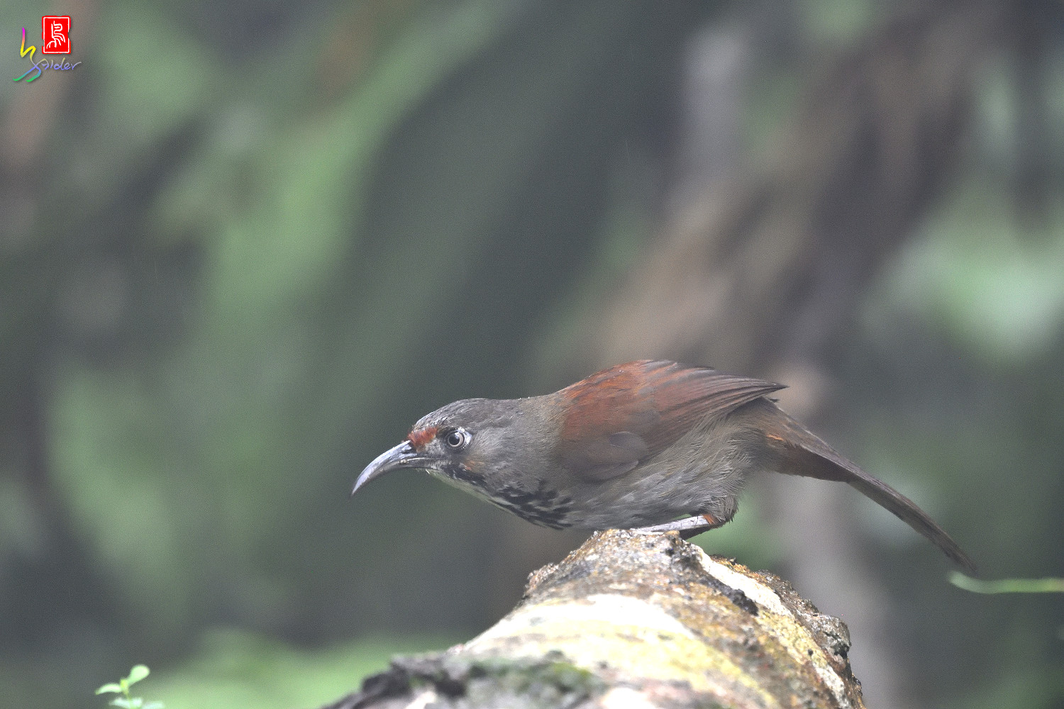 Rusty-cheeked_Scimitar-babbler_4437