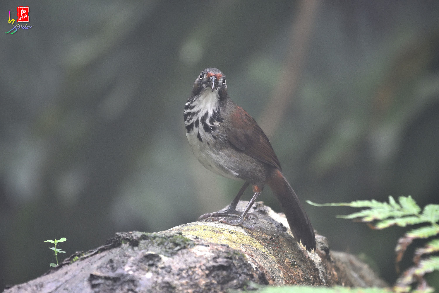 Rusty-cheeked_Scimitar-babbler_4354