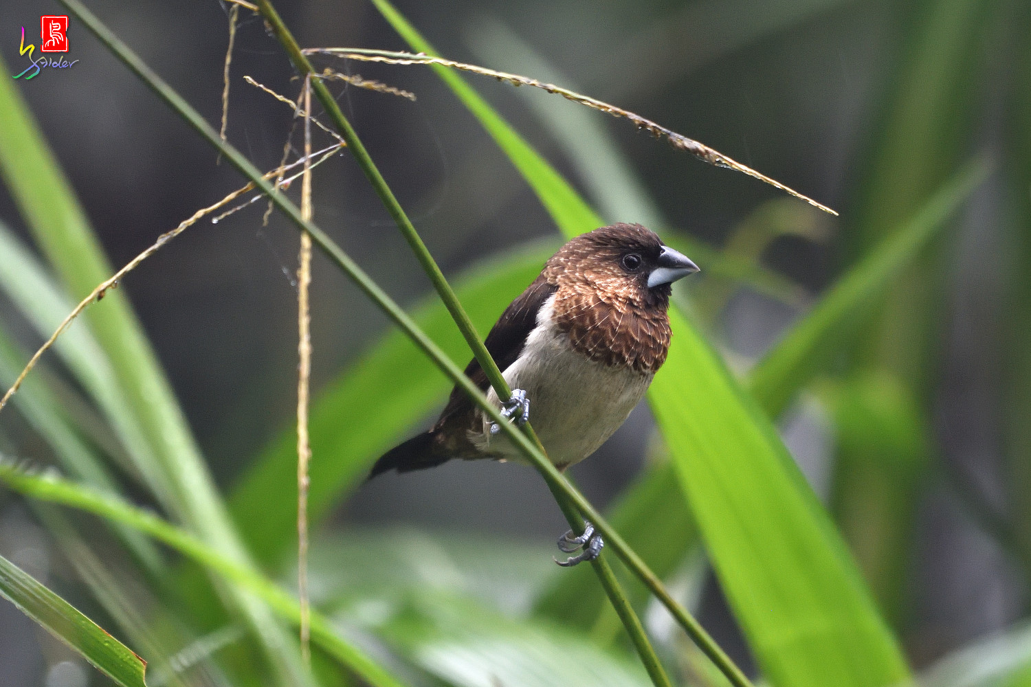 White-rumped_Munia_4409