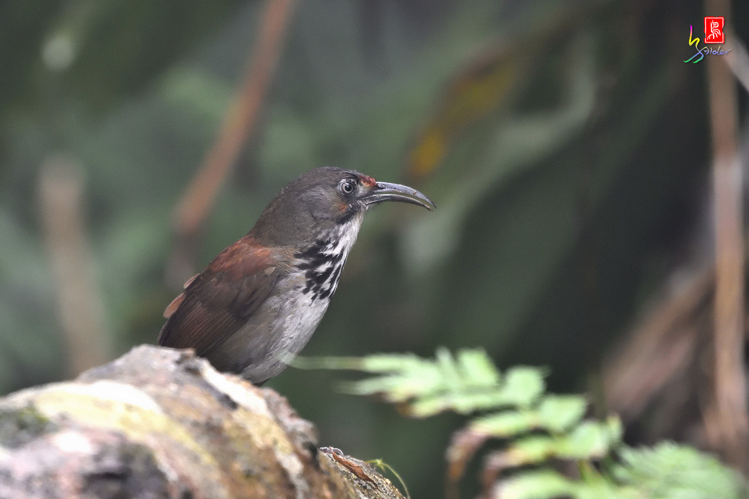 Rusty-cheeked_Scimitar-babbler_4431